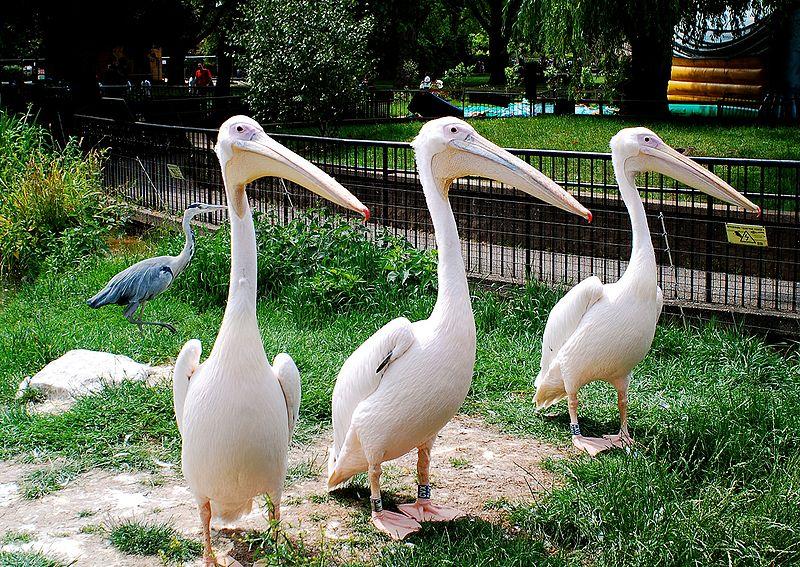 Weiße Pelikane im London Zoo